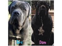 READY TO LEAVE - World Class Pedigree Cane Corso Puppies