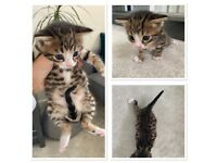 Bengal Cross Kittens for sale