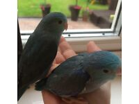 SUPER TAME BABY PARROT PARROTLETS WITH CAGE