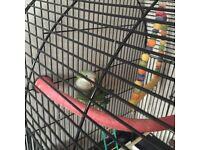 Quaker parrot / parakeet