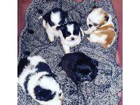 Shih tzu cross chihuahua puppies