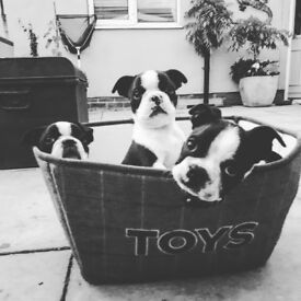**reduced** 2 KC Boston terriers