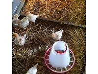 3 week old hens for sale, Rhode island crosses-sussex