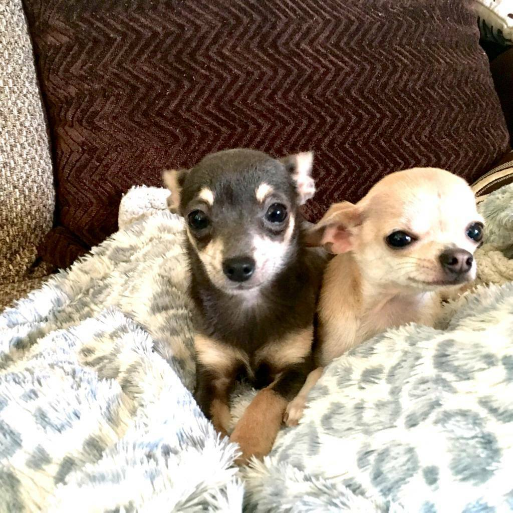 2 Chihuahuas for sale