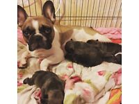 3 puppies reserved. Kc registered French bulldog