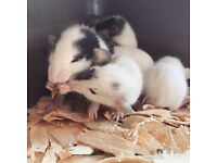 Baby rats ready on 2nd August