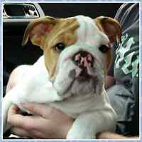 English Bulldog -Puppy