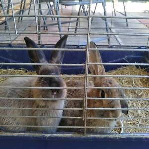 2 rabbits for sale Cannington Canning Area Preview