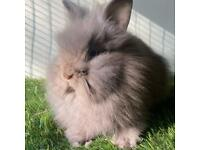 Baby bunnies for sale Netherland mini lop lionheads