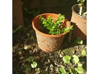 Very Small Buxus / Box Plant - Outdoor Plant (Reference: P44)