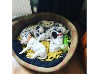 KC registered dalmation puppies
