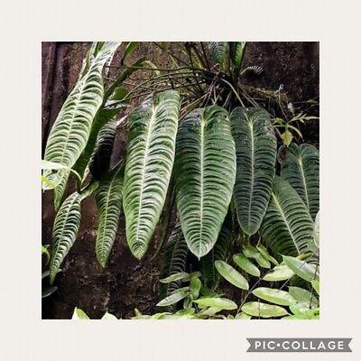 King Anthurium   Spectacular Anthurium Veitchii Live Sml Sz Potd Plant