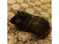 7 month old Guinea Pig for sale