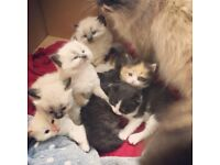 Long fur Ragdoll x kittens RESERVATION
