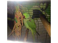 Alexandrine parrot forsale