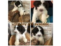 Cockapoo-puppies | Dogs & Puppies for Sale - Gumtree