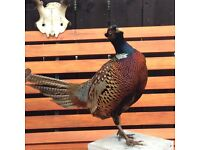 Pair of pheasants for sale