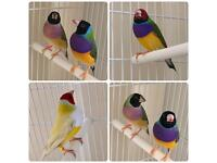 Pair of finches for sale