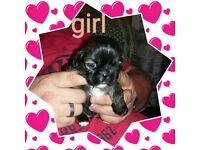 female shih tzu pup