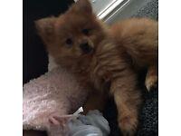 Beautiful 11 week old Pomeranian
