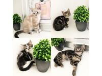 Beautiful kittens ready now 8 weeks