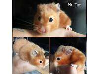 Syrian (show) hamster and/or accessories
