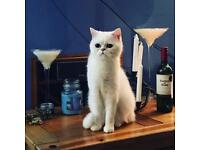 Missing White Male Persian cat