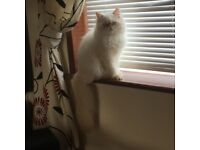 Himalayan persian 3 years male looking forever home