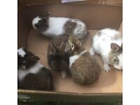 14 x baby rabbits for sale male and females very nice coulors handled daily ready now £25 each