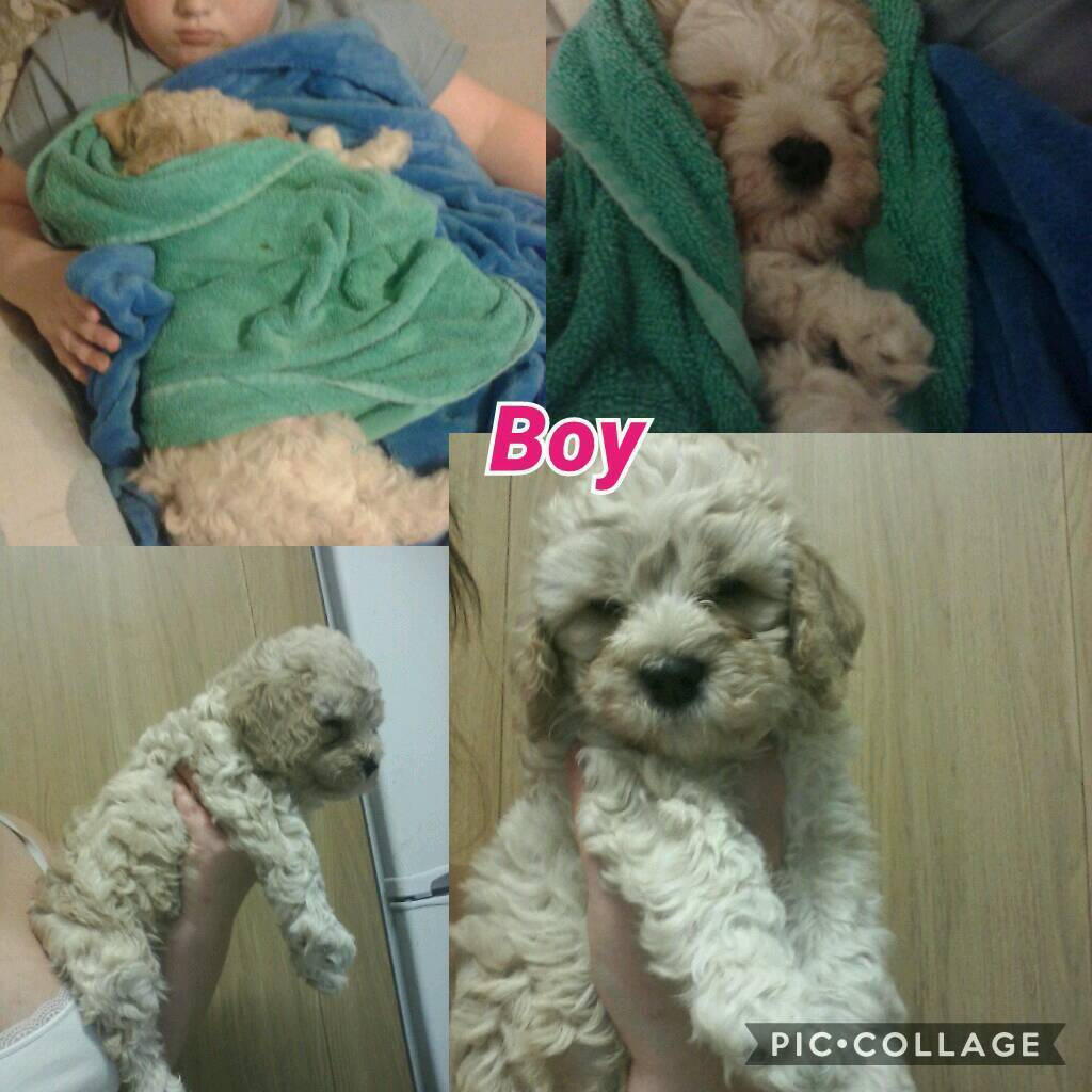 Cockapoo puppies girl & boy