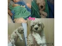 Cockapoo puppies girl & boy