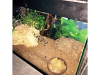 Tarantula for sale with tank