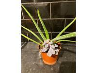 Aloe Vera and Succulent