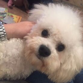 1year old Bichon Frise if interested call 07545 861 717
