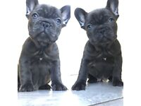 Kc reg blue French bulldog puppy