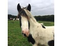 Yearling cob filly