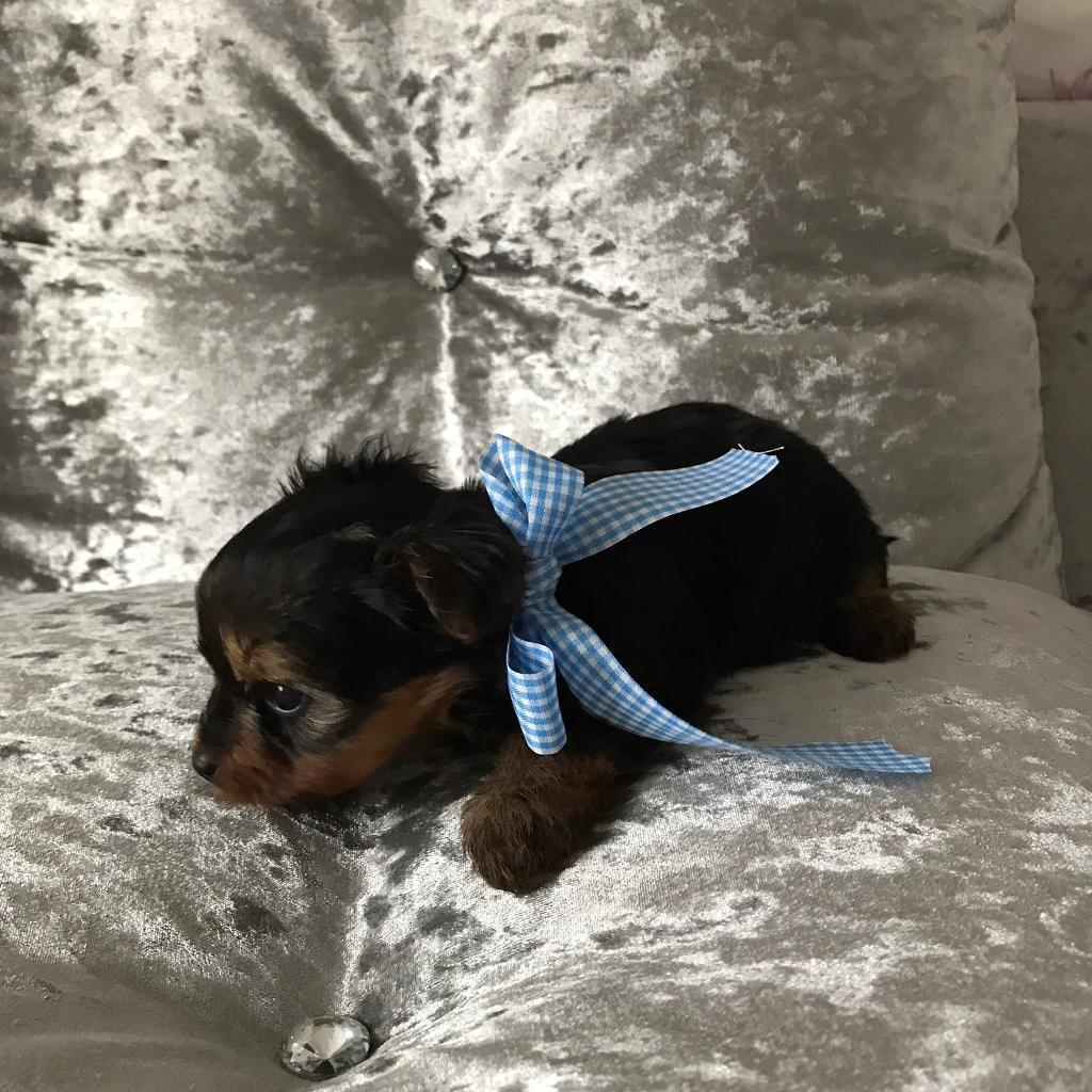 Yorkshire terrier Yorkie puppies ONLY 1 PUP LEFT