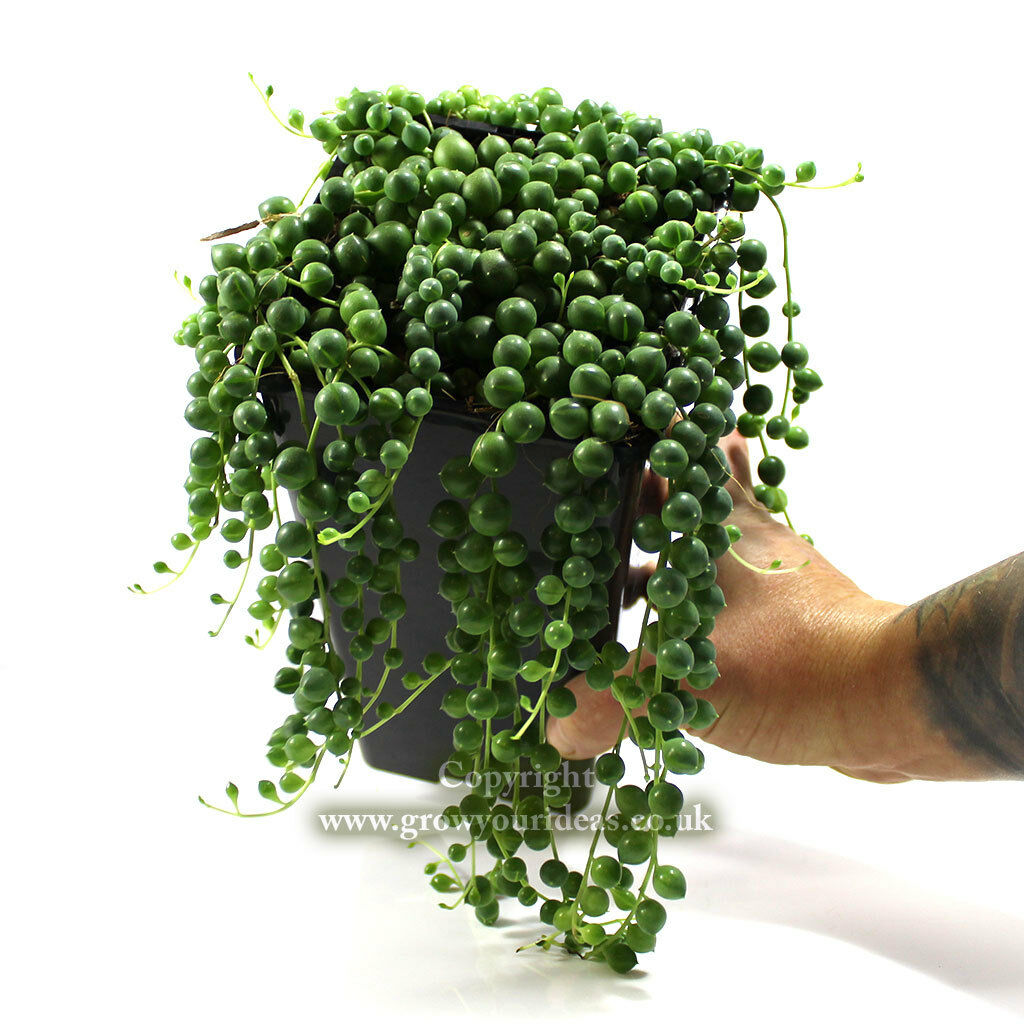 string of pearls succulent - HD1024×1024