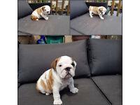 Beautiful British Bulldog Puppies Ready Now