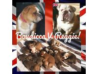 Stunning old tyme bulldog puppies