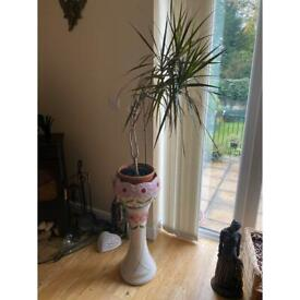 Indoor plant and plant pot