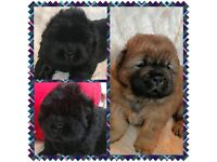 BEAUTIFUL KC CHOW CHOW PUPPIES