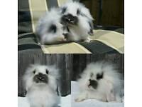 Mini lop x lion lops