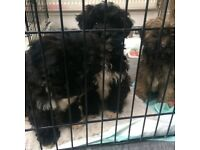 Lhaso Apso cross Toy Poodle Puppies