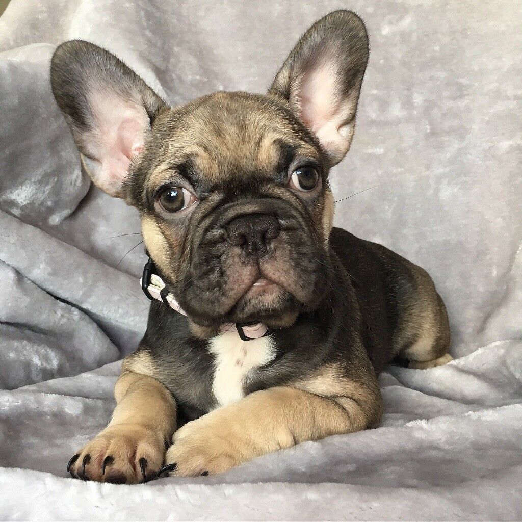 2 Frenchie puppies available