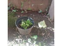 Very Small Buxus / Box Plant - Outdoor Plant (Reference: P45)