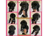 JACKAPOO Puppies from Licensed Breeder