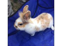 12w male baby rabbits £10 dereham