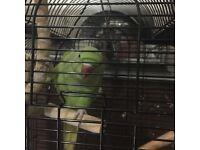 Indian ringnack parrot
