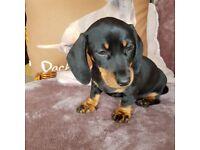 Miniature dauschund puppies